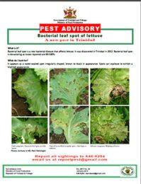 pest_advisory_Bacterial_leaf_spot_of_lettuce