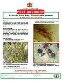 pest_advisory_avocado_lace_bug