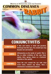 3-Common-diseases-of-rabbits – CONJUNCTIVITIS_compressed-r47